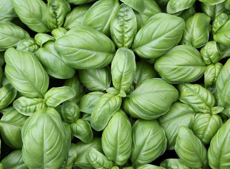 предпосылка зеленых листьев базилика стоковая фотография rf
