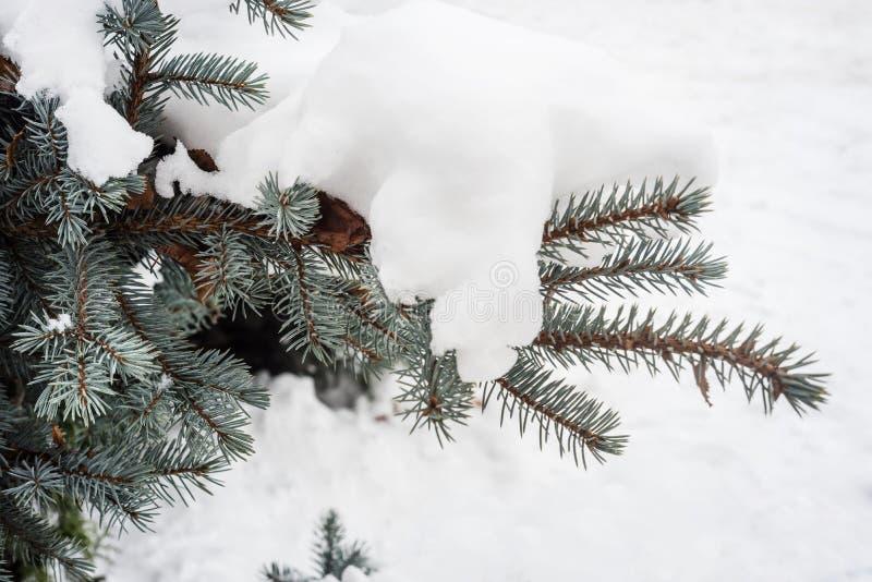 Download Предпосылка зимы для голубых конусов и игл ели Стоковое Изображение - изображение насчитывающей conifer, флористическо: 81803405