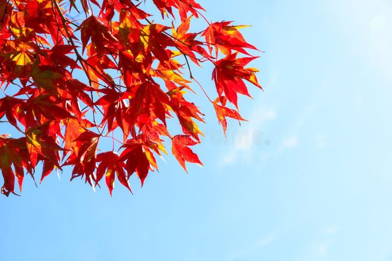 Предпосылка листьев осени клена стоковые фотографии rf