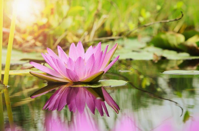 предпосылка и солнечность цветка лотоса стоковые фотографии rf