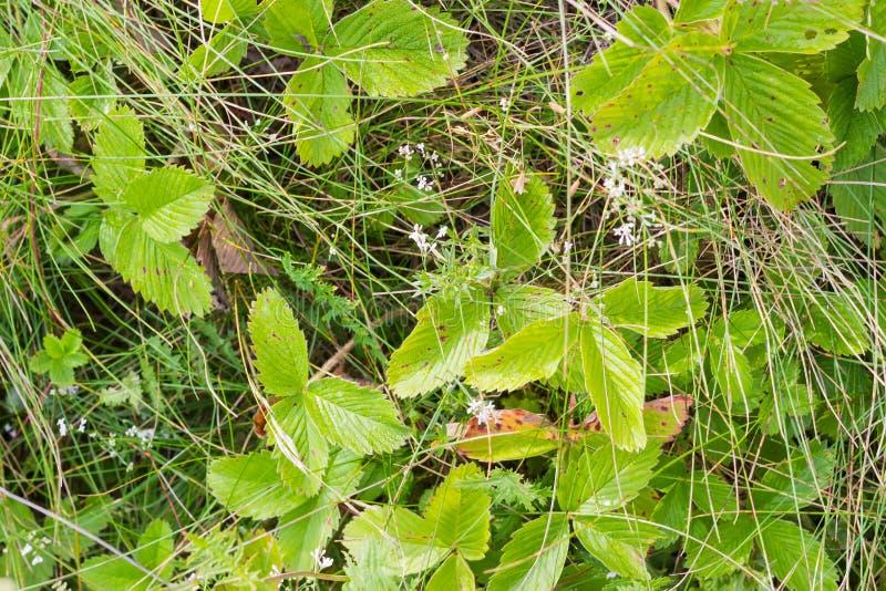 Предпосылка клубники полесья выходит среди травы стоковые изображения rf