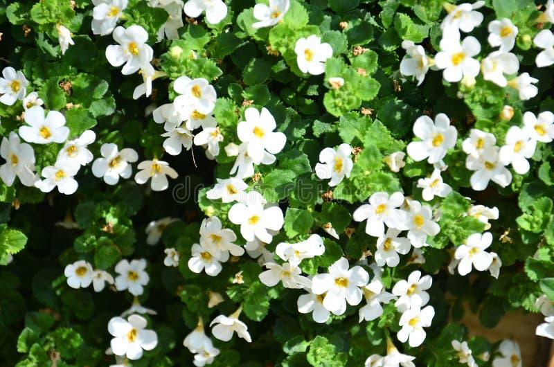 Предпосылка малых белых свежих цветков с листьями стоковые изображения