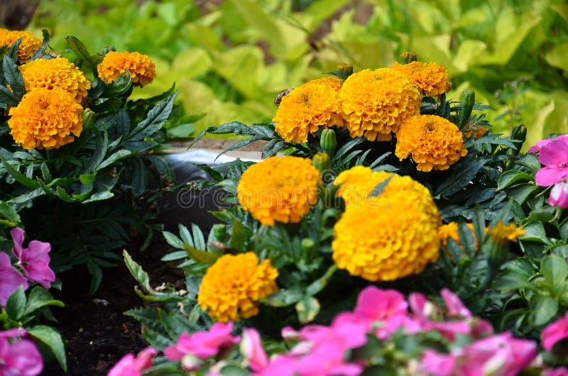 Предпосылка - оранжевые круглые цветки в саде стоковая фотография