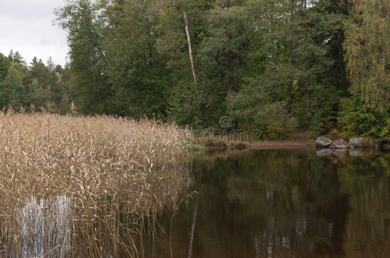 Предпосылка осени естественная Тростники бечевника озера стоковые фото