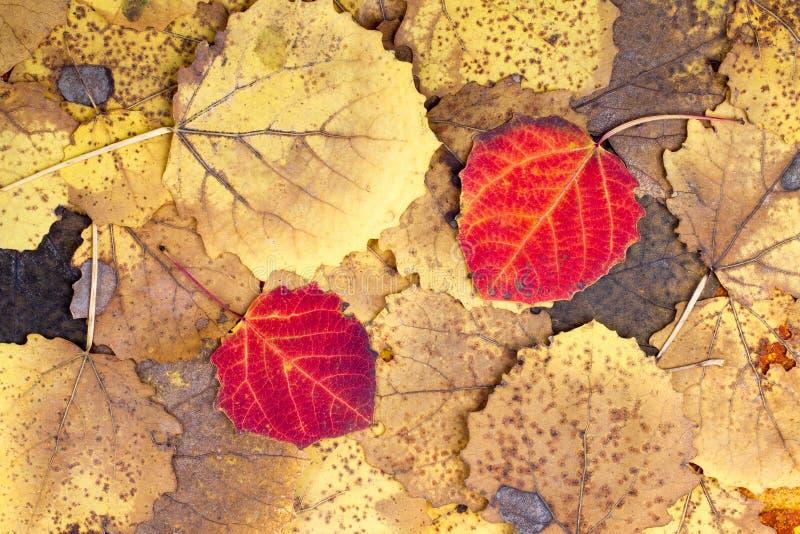 Предпосылка от листьев осины осени красочных стоковая фотография rf