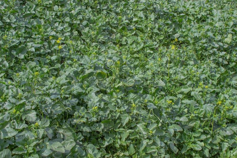Предпосылка поля зеленой травы засорителя стоковые фото