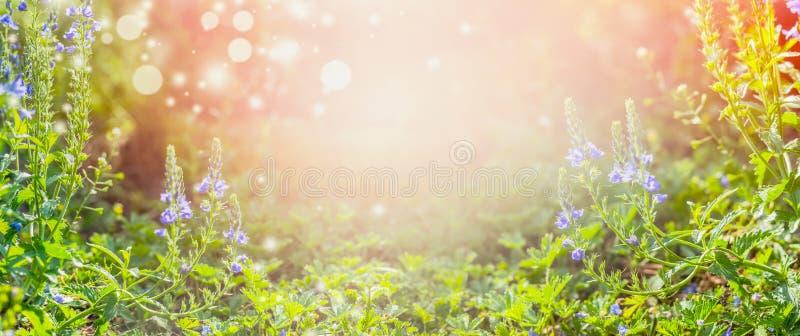 Предпосылка природы лета с голубыми цветками в саде или парке, внешней природе стоковое фото rf