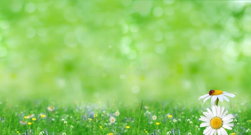 Предпосылка природы лета с цветками стоцвета стоковые фото