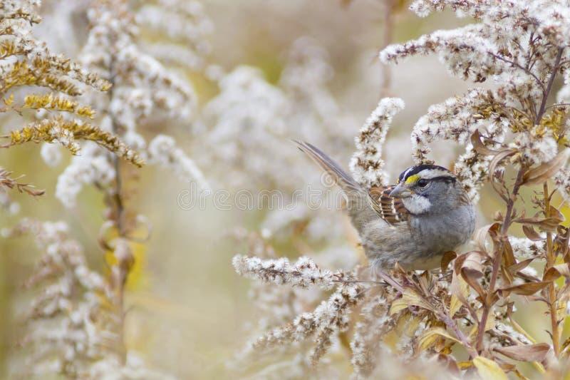 Предпосылка природы осени - Бело-throated птица воробья стоковое изображение rf