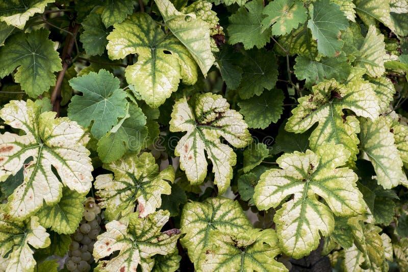 Предпосылка реки Мозель винодельческого региона листьев стоковая фотография