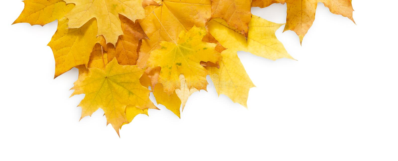Предпосылка сезона падения, желтые кленовые листы стоковые фотографии rf