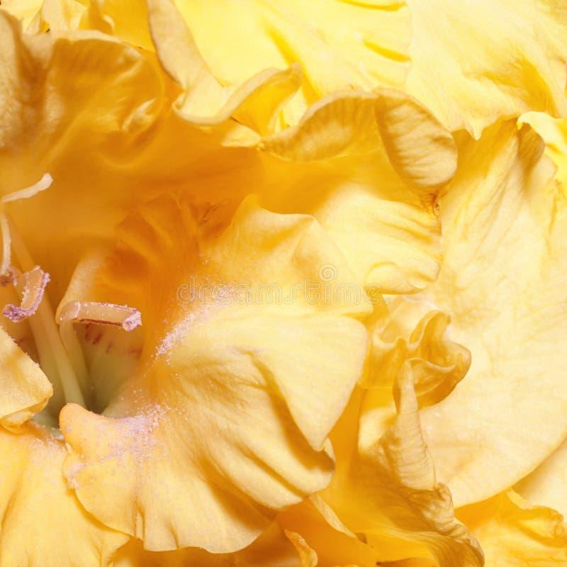 Предпосылка с желтыми гладиолусами стоковые фото