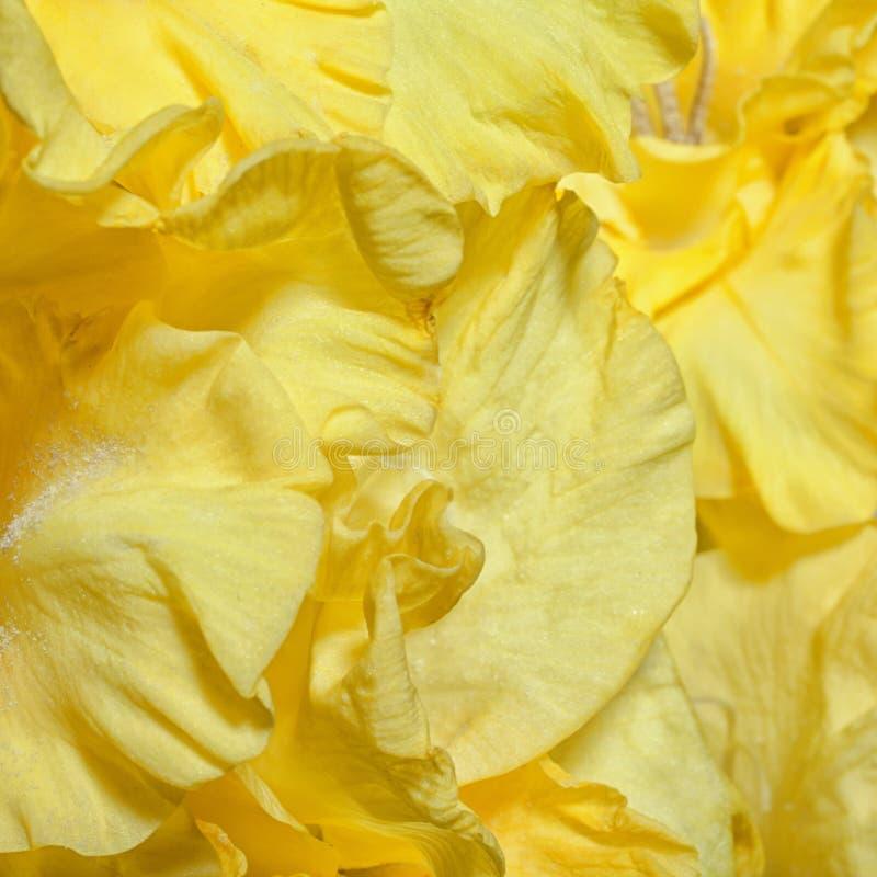 Предпосылка с желтыми гладиолусами стоковые изображения rf