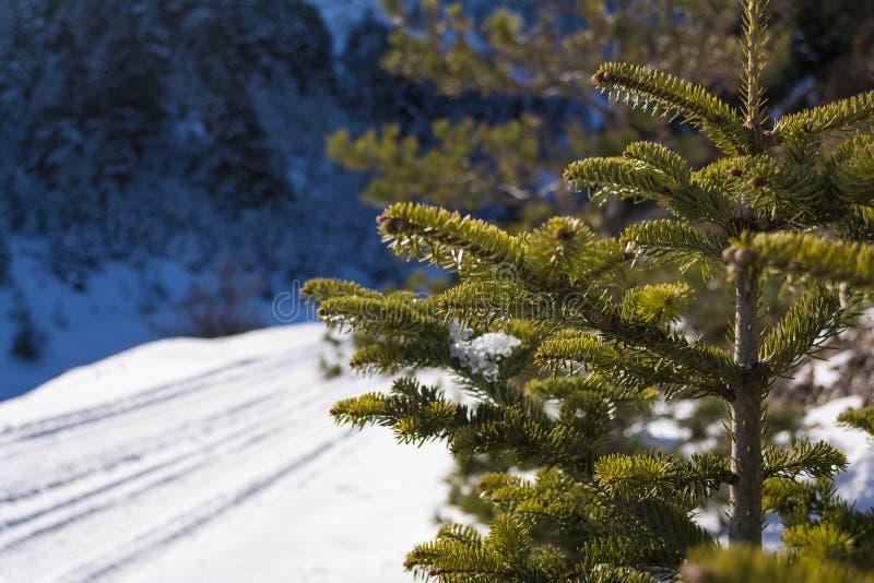 Предпосылка с покрытыми снег ветвями ели на горе на зимний день, южном Пелопоннесе Ziria, Греции стоковая фотография