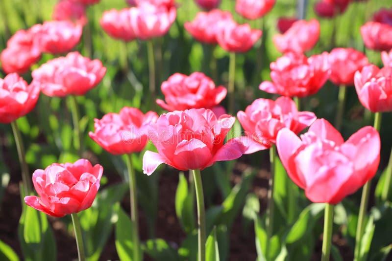 Предпосылка с яркими розовыми тюльпанами стоковые изображения rf