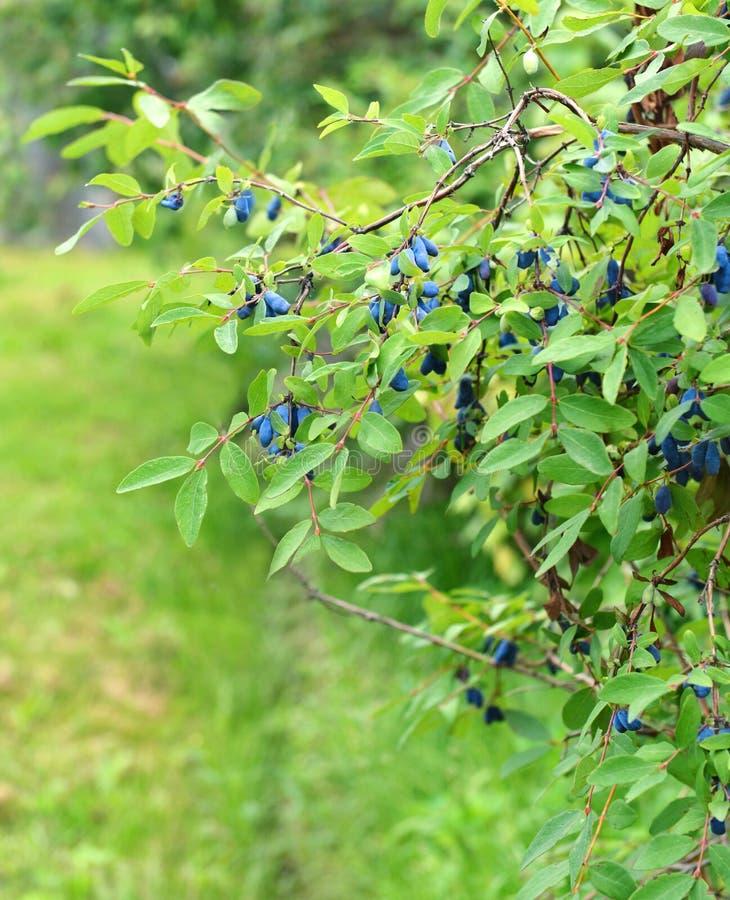 Предпосылка с honeyberry в саде 2 стоковые фото