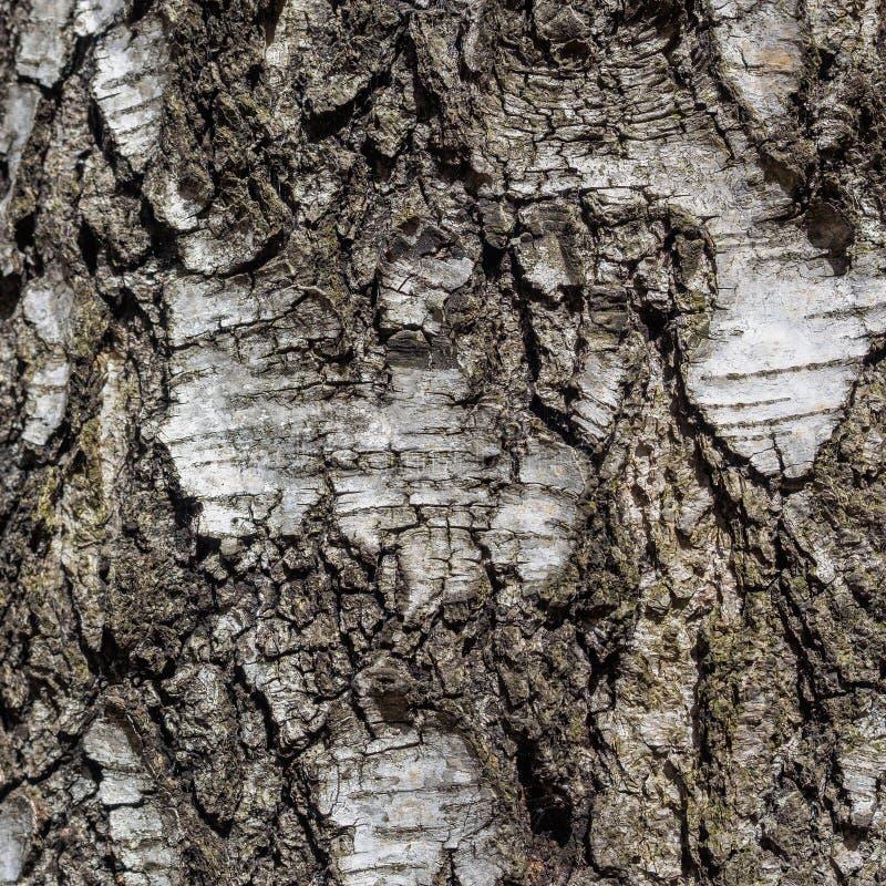 Предпосылка текстуры коры дерева березы естественная стоковая фотография rf
