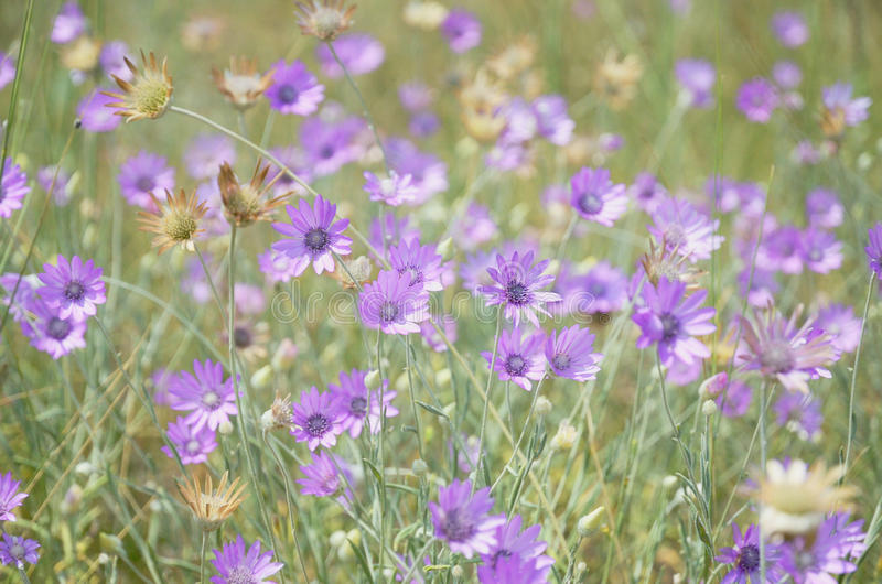 Предпосылка фиолетовых цветков на зеленом луге в одичалом стоковая фотография rf