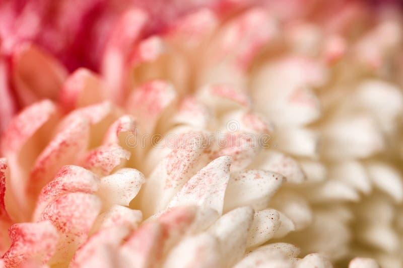 Предпосылка хризантемы абстрактная стоковые фото