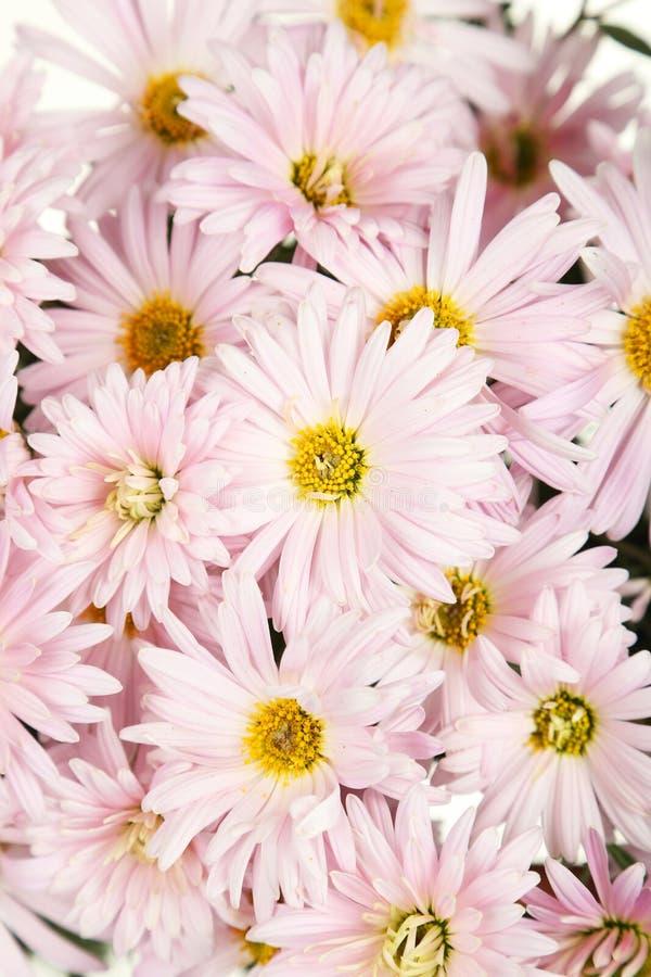 Предпосылка хризантем сирени, цветки осени стоковая фотография