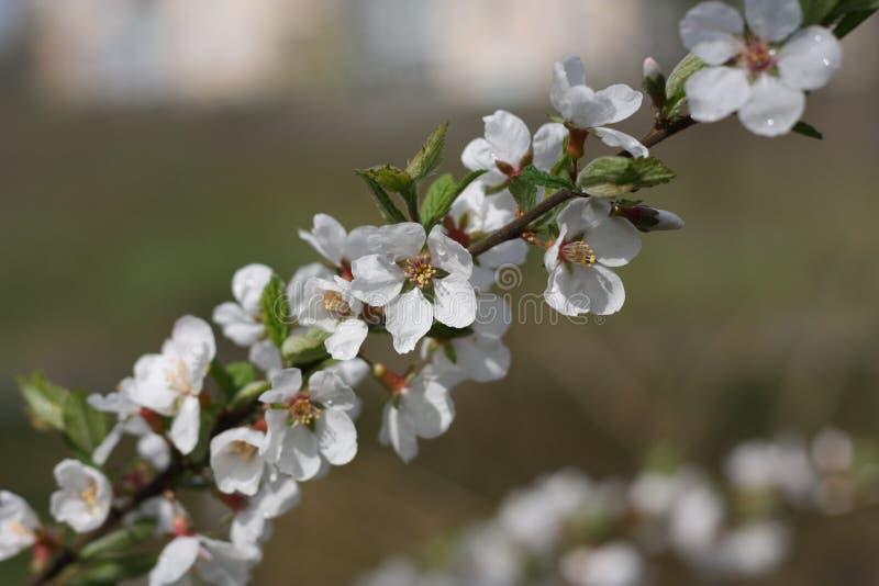Предпосылка цветения весны стоковые изображения rf