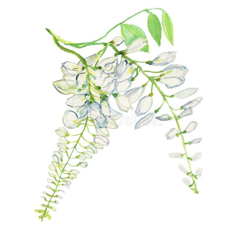 Предпосылка цветка глицинии Покрашенная рукой иллюстрация акварели на белой предпосылке бесплатная иллюстрация