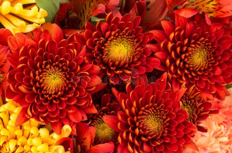 Предпосылка цветка красных и желтых мам стоковая фотография rf