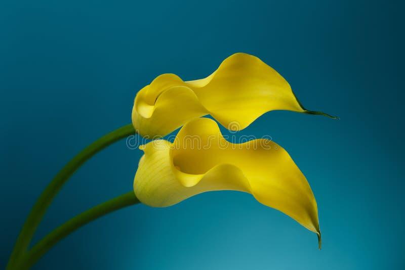 Предпосылка 2 цветков лилии Calla стоковое фото rf