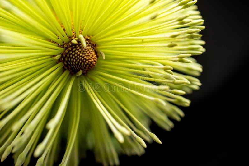 Предпосылка черноты макроса цветка Banksia стоковая фотография rf