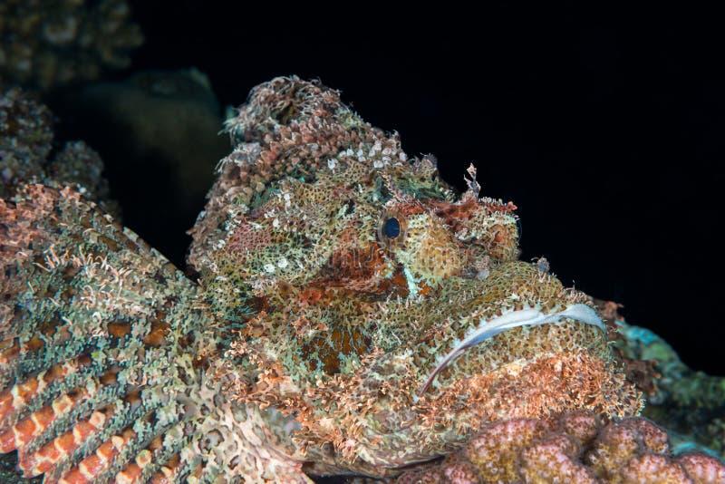 Предпосылка Scorpionfish черная стоковое фото