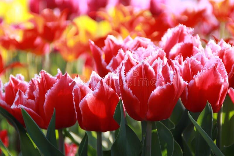 предпосылки тюльпаны defocused dof поля весьма отмелые стоковые фотографии rf