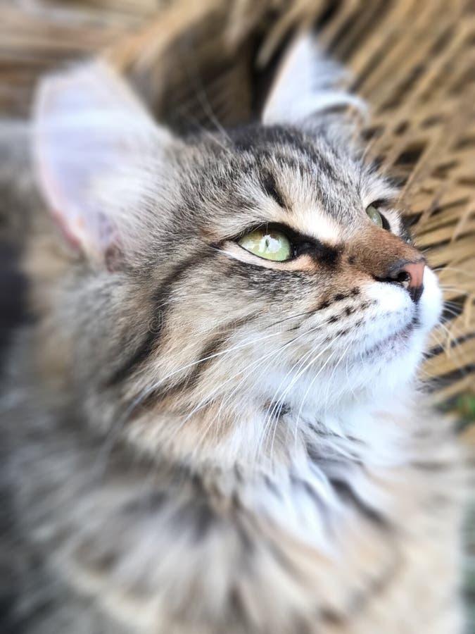 Представления котенка Tabby для портрета стоковое фото rf