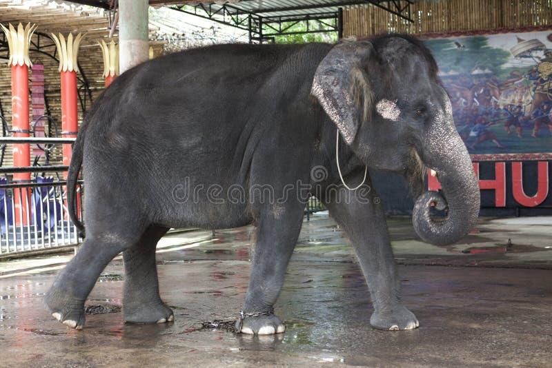 Представления цирка молодого индийского слона в зоопарке Таиланде, Пхукете стоковые изображения rf