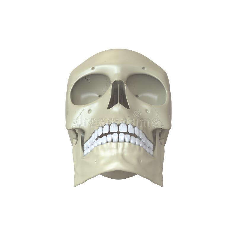 Download Представленный человеческий череп Иллюстрация штока - иллюстрации насчитывающей предмет, гнезда: 33739043