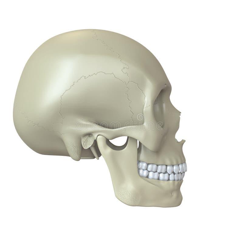Download Представленный человеческий череп Иллюстрация штока - иллюстрации насчитывающей биохимии, bragg: 33739095