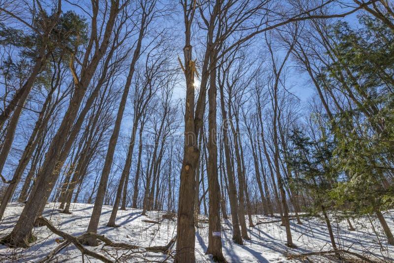 Предыдущая весна на лесе деревьев клена стоковые изображения rf