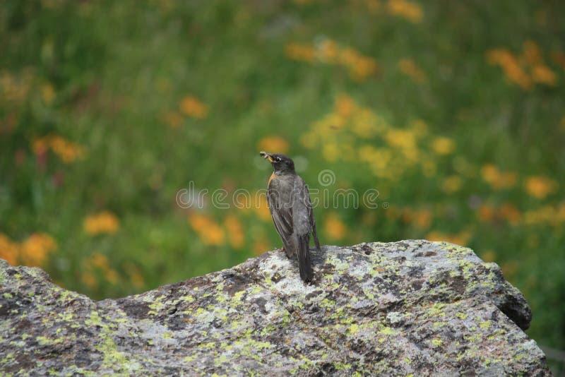 Предыдущая птица получает глиста стоковое изображение rf