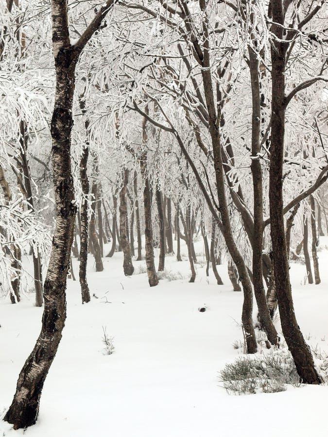 Предыдущее туманное утро в глубоком лесе березы, изморози на деревьях и хоботах, который замерли ветви. стоковые фото