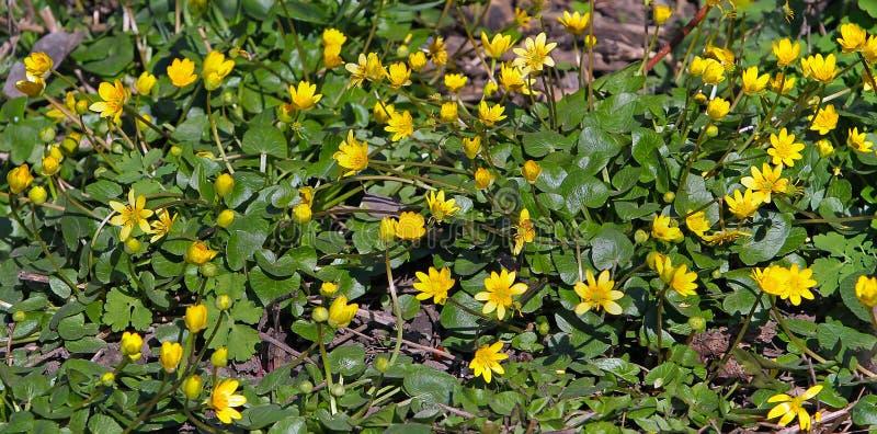 Предыдущие цветки желтого цвета весны смотрят сияющими, если залакированный Butterc стоковые изображения