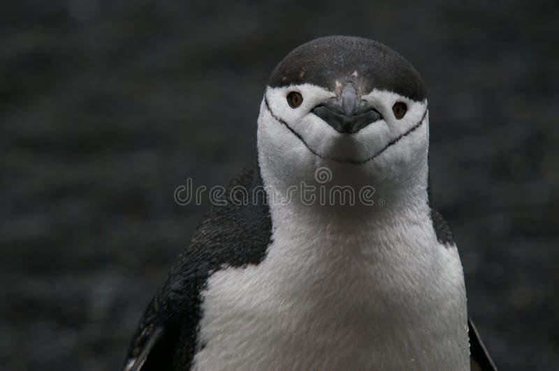 приантарктический пингвин chinstrap стоковая фотография