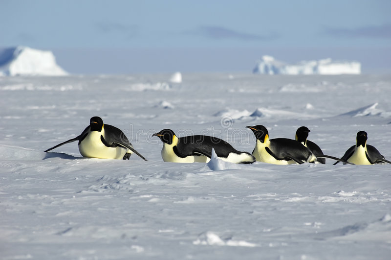 приантарктическое шествие пингвина стоковые фото