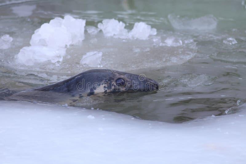 Download Прибалтийское серое уплотнение Стоковое Изображение - изображение насчитывающей консервация, море: 37927439