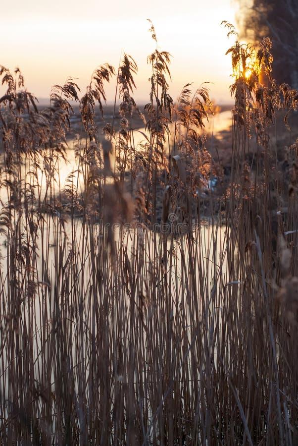 Прибрежные тростники в заходящем солнце, стоковое фото