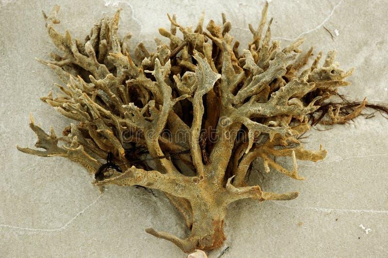 Прибрежный коралл стоковые изображения rf