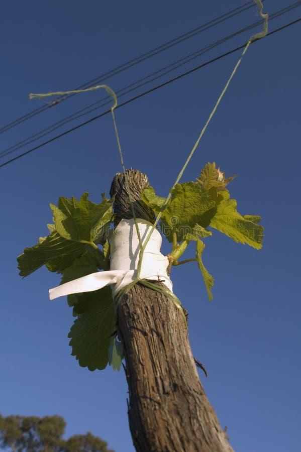 прививать виноградные вина стоковые фотографии rf