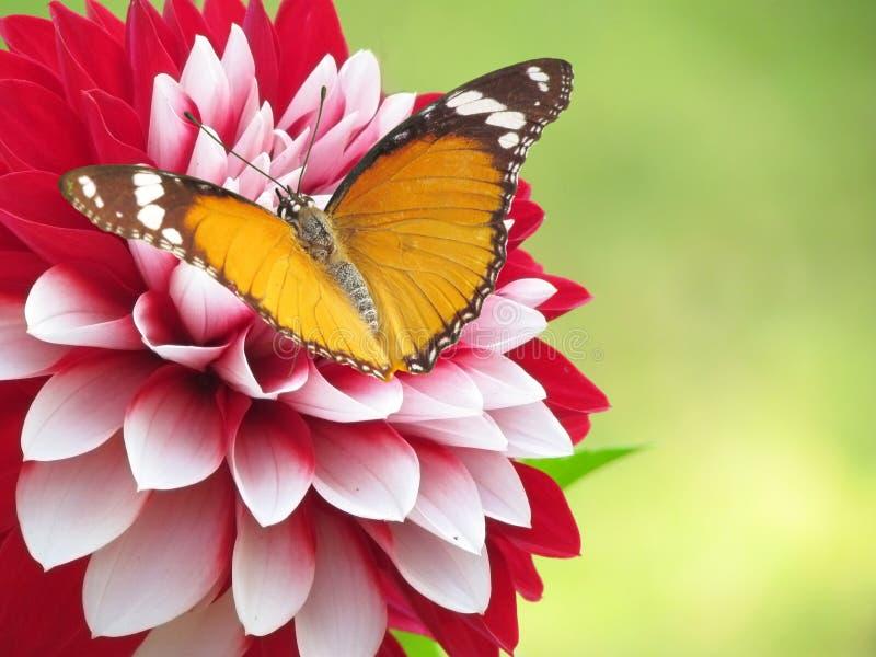 Привлекательная померанцовая бабочка на красном белом цветке стоковая фотография