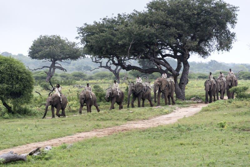 Привод слона ренджерами стоковые фото