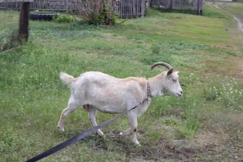 Привязанная коза пася в деревне 30721 стоковое изображение rf