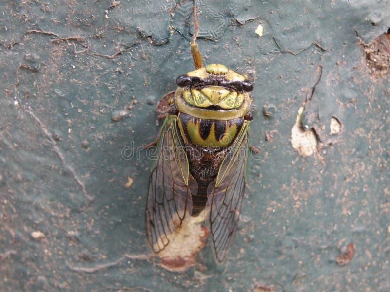 Привлекательные и красочные цикада или зуммер стоковая фотография rf