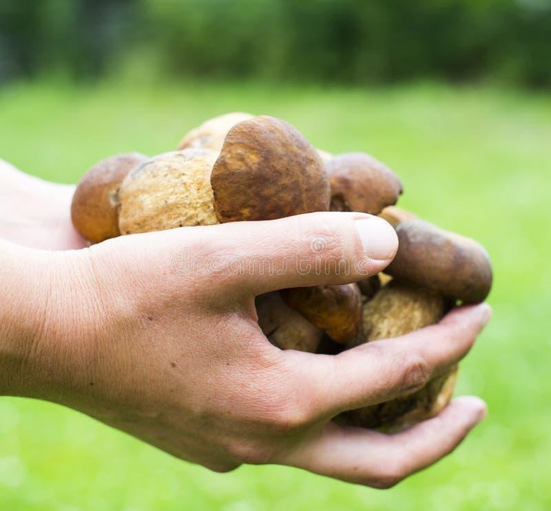 Пригорошня грибов porcini стоковое фото